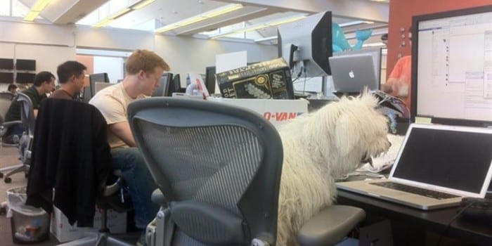 Walks Like A Boss,This Dog At Facebook's Headquarter Is Amazing